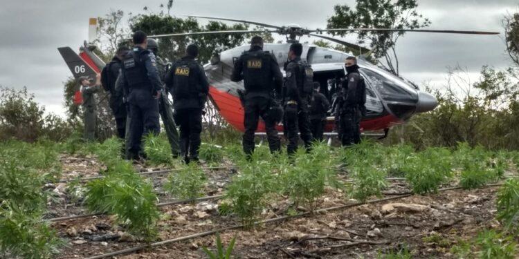 Plantação ilegal de maconha é interditada pela PM em Porteiras; um suspeito ficou ferido